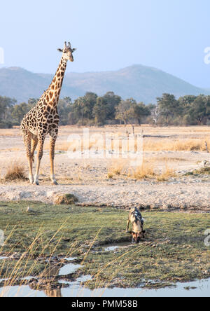 Thornicroft's Girafffe watches a wild dog at a watering hole. - Stock Image