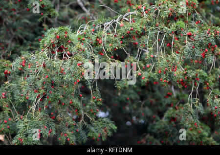 The red fruits and dark green leaves of a yew tree (Taxus baccata). Winchester, Hampshire, UK - Stock Image