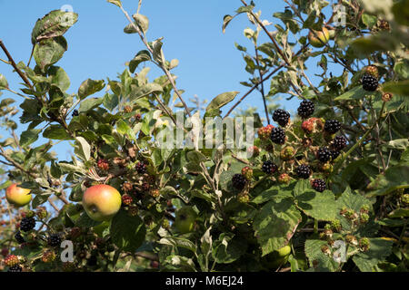 Wild blackberries and wild apples growing along the path at Pegwell Bay, near Ramsgate, Thanet, Kent, in July - Stock Image