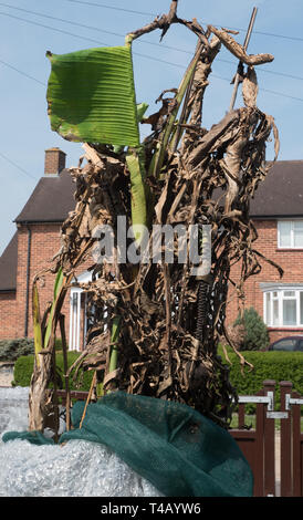 English banana winter insulation removal and clean-up - Stock Image