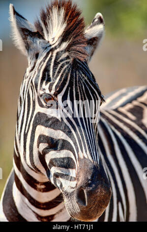 Zebra close up - Stock Image