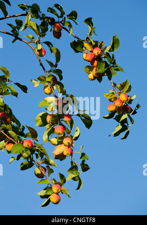 Apple tree branch with ripe apples - Stock Image