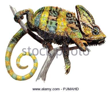 jemenchamaeleon chamaeleo calyptratus - Stock Image