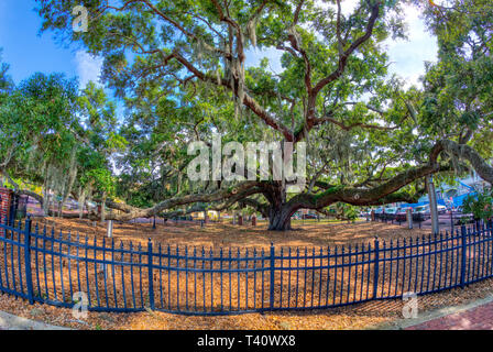 The Baranoff Oak tree in Baranoff Park reportedly the oldest living Live Oak tree in Pinellas County in Safety Harbor Florida - Stock Image