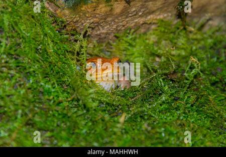 Tomato Frog, Dyscophus guineti - Stock Image