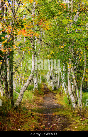 Walking path through birch trees in Sieur de Monts at Acadia National Park. - Stock Image