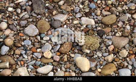 American Toad camouflage on gravel beach Little Miami River Ohio - Stock Image