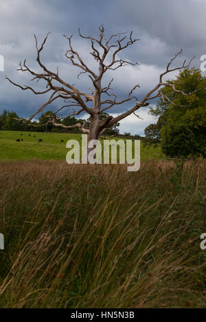 An old dead tree in a field in The Lake District - Stock Image