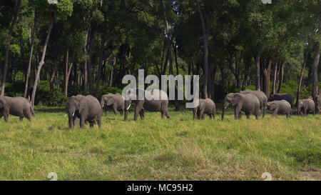 Elephant with Cattle Egrets in the beautiful landscape of the Amboseli National Park in Kenya - Stock Image