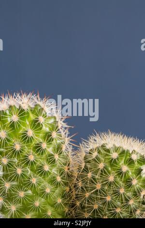 A close up of the detail of a green round cactus with prickly thorns and copy space on a blue background - Stock Image