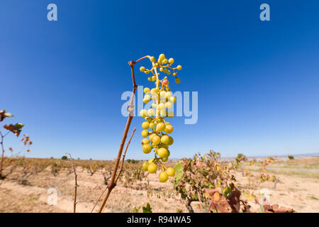 cluster of green wine grapes hanging in vine tree branch of vineyard, in winter or autumn season, in Castile, Spain, Europe - Stock Image