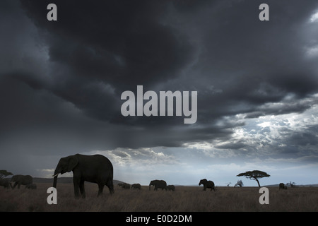 Elephants and storm clouds, Tanzania (Loxodonta africana) - Stock Image