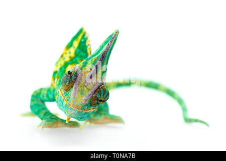 funny close view of a beautiful  green colorful  chamaeleo calyptratus looking you. Species also called veiled, cone-head or yemen chameleon. - Stock Image