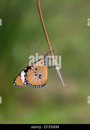Plain Tiger Butterfly, Danaus chrysippus, Nymphalidae. Anja Community Reserve, Madagascar, Africa. - Stock Image