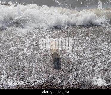 Sidmouth, UK. 24th Mar, 2019. A golden retriever enjoys the beach at Sidmouth. Credit: Photo Central/Alamy Live News - Stock Image