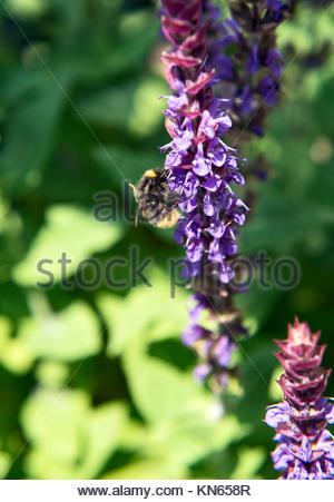 Bumblebee on a sage flower - Stock Image