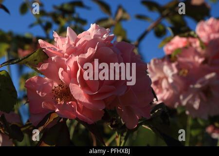 Pink Rose in garden at Domaine de l'orangerie de Lanniron, Quimper, Finistere, Brittany, France - Stock Image