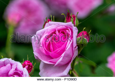 Hybridized by Moreau-Robert in 1858, a pale pink Damask rose 'Comte de Chambord' - Stock Image