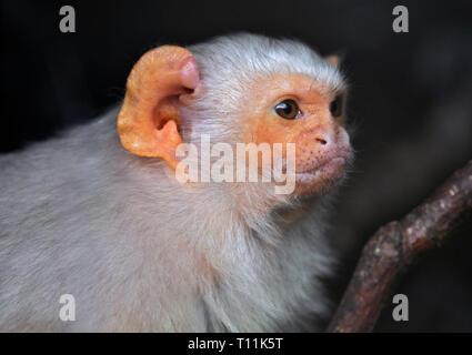 Silvery Marmoset (mico argentatus) - Stock Image