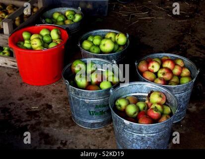 Apple Harvest in Galvanised Buckets - Stock Image