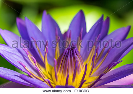 Nymphea : water lily - Stock Image