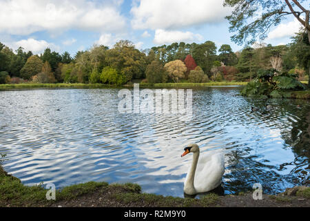 White Mute Swan on the edge of a lake with autumn colours and blue skies. Mount Stewart, Newtownards, County Down, N.Ireland. - Stock Image