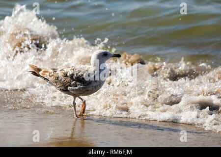 Lonely seabird walks near the waves. This is a scenery observed at the Baltic Sea coast in Kolobrzeg, Poland. - Stock Image