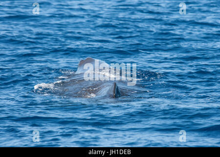 Sperm whale, Physeter macrocephalus, cachalot or Pottwal, at surface, Azores, Atlantic Ocean - Stock Image