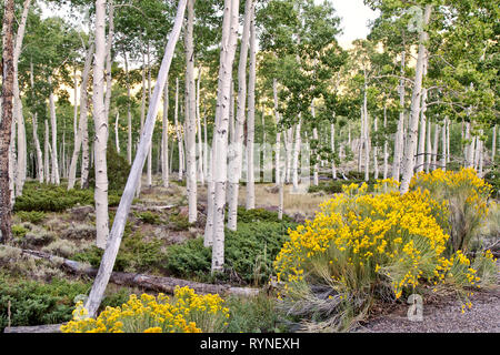 Quaking Aspen Grove 'Pando Clone' at sunrise 'Populus tremuloides'.  Clonal colony of an individual male quaking aspen. - Stock Image