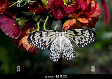 Tree Nymph Butterfly - Stock Image