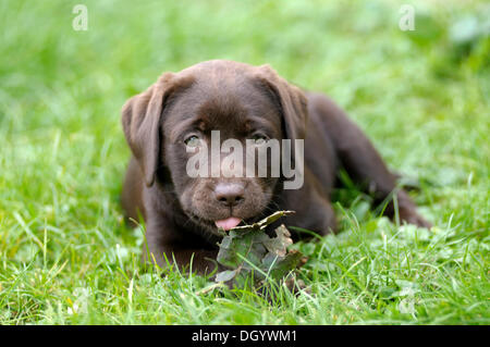 Brown Labrador Retriever, puppy lying in a meadow with a leaf in its paws, sticking out its tongue - Stock Image