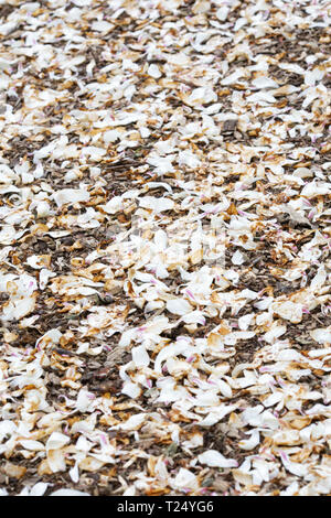 Fallen Magnolia petals covering the ground. - Stock Image