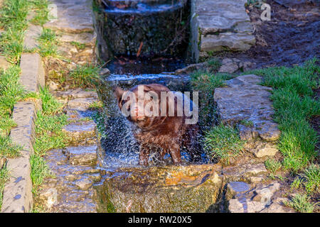 Northampton. U.K. 4th March 2019. Abington Park. A Brown Labrador shaking the water of after playing in the overflow, from the top lake on a bright and sunny morning, the forecast is for a sunny clear day. Credit: Keith J Smith./Alamy Live News - Stock Image
