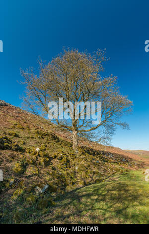 A solitary ash tree on a rocky hillside with the buds opening in bright sunshine against a clear blue sky, with copy space - Stock Image