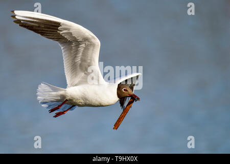 Black-headed Gull is carrying nest building material - Stock Image