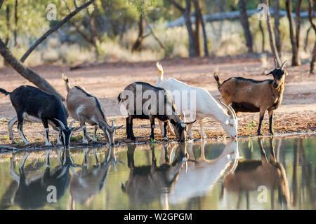 Australian Feral Goats drinking at waterhole - Stock Image