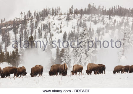 American bison forage for food in a snow covered field near Firehole Canyon in winter February 19, 2019 at Yellowstone National Park, Wyoming. - Stock Image