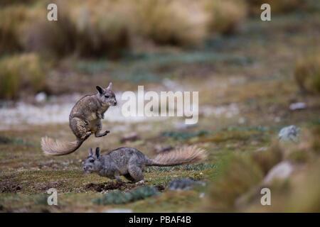 Northern viscacha (Lagidium peruanum) two playing together, Huascaran National Park, Cordillera Blanca, Andes, Peru - Stock Image