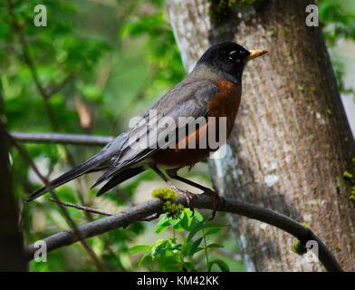 North American Robin in British Columbia - Stock Image