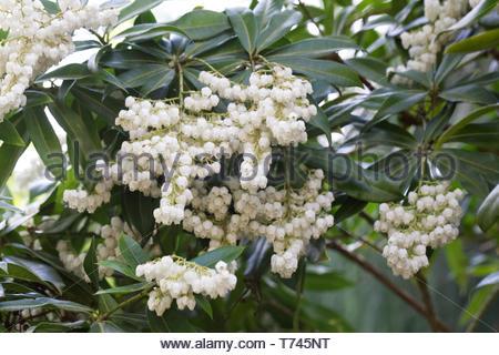 Pieris formosa var. forrestii 'Wakehurst' flowers, - Stock Image