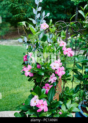 Pink Mandevilla flowering vine belonging to the dogbane family, Apocynaceae, with a common name of rock trumpet growing in a patio garden. - Stock Image