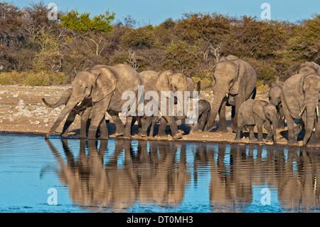 Herd of African Elephants, Loxodonta africana, with reflection in a waterhole, Etosha NP, Namibia, West Africa - Stock Image