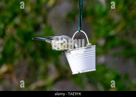 Urban wildlife bluetit (Cyanistes caeruleus) perched on a garden feeder with bird seed - Stock Image