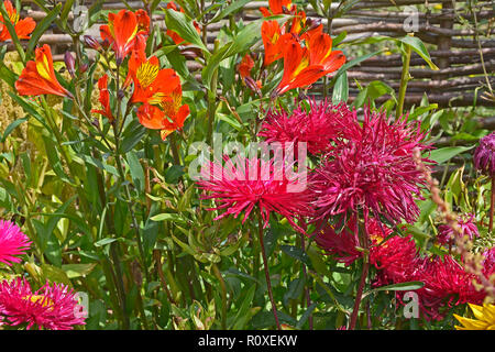 Colourful flower border with a close up of Callistephus chinensis 'Star Scarlet' and Alstromeria 'Indian Summer' - Stock Image