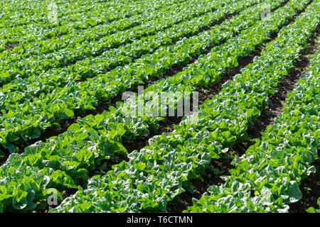 Farm field with rows of young fresh green salad lettuce plants growing outside under greek sun, agriculture in Greece. - Stock Image