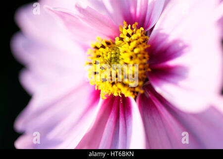 soft focus and ethereal pink cosmos sonata open flower with heart-shaped center  Jane Ann Butler Photography JABP1859 - Stock Image
