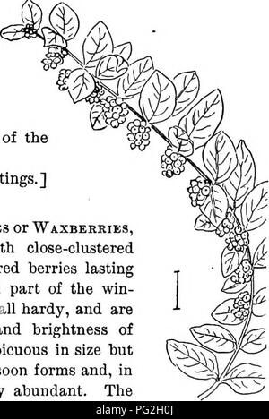 . Ornamental shrubs of the United States (hardy, cultivated). Shrubs. Fig. 371. — American Elder. Fig. 372. — Golden American Elder. species. The silver-leaved, ar- g6ntea, is a variety of the European and the glaucous-leaved, glaiica, of the American. It is generally easy to determine the species by the taller growth and smaller pith of the European elder. [Eoot cuttings; tv?ig cuttings.] Symphoricdrpos. The Snowberries or 'Waxberkies, and CoRAL-BERRiKS are shrubs with close-clustered fleshy 2-seeded globular white or red berries lasting on the bushes through the fall and part of the win- ter - Stock Image