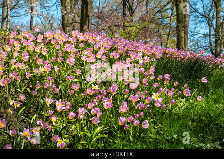 Lilac Wonder Tulips, Tulipa Saxatilis Lilac Wonder, in a natural setting under trees in the Keukenhof Gardens Netherlands. - Stock Image