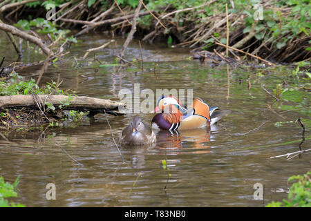 A male and female Mandarin duck, Aix galericulata on a beck, YWT Adel Dam, Leeds, West Yorkshire, England, UK. - Stock Image