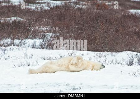 Adult Polar Bear, Ursus maritimus,  lying on its back, sleeping on the the snow, Churchill, Manitoba, Canada - Stock Image